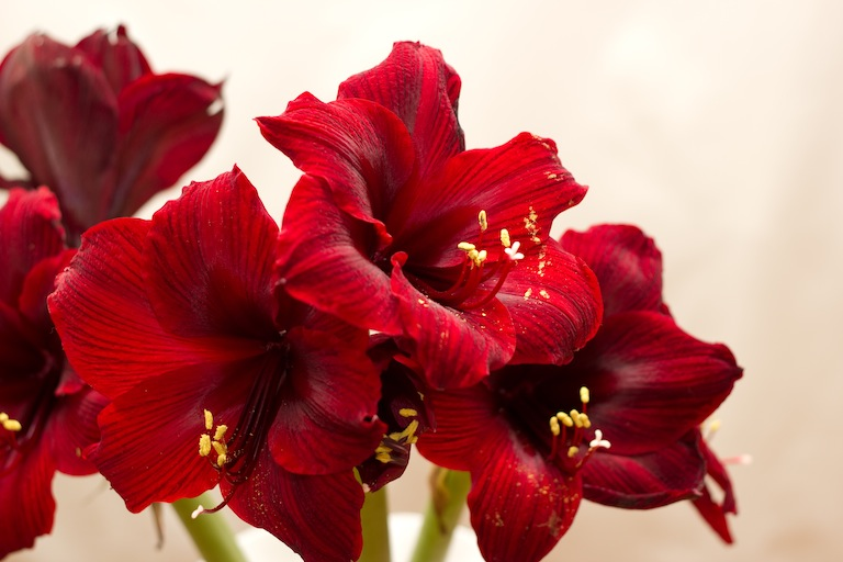 How To Force Amaryllis Bulbs And Use The Fresh Cut Flowers